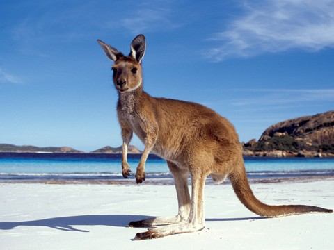 Känguru i Australien